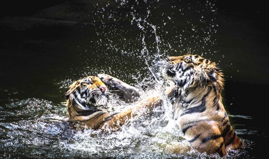 2_23_15_tigerfight