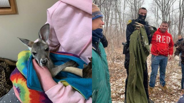 The missing kangaroo returns home to Stokoe Farms in Scottsville